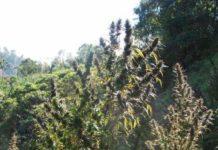 Semilla de Marihuana Mangobiche Regular del Banco Cannabiogen