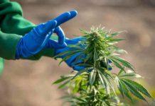 Bueno y Malo de la Marihuana para Uso Terapéutico y Recreativo