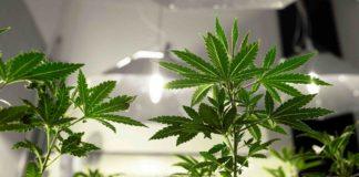 ¿Cómo tenemos que descarboxilar la marihuana?