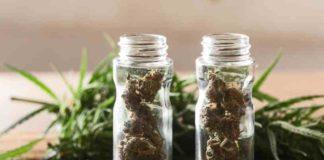¿Se puede calificar a la Planta de Marihuana, como marihuana medicinal?