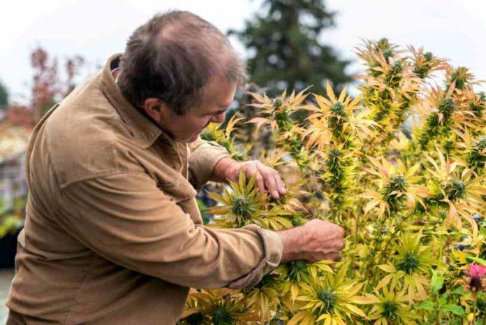 ¿Cómo crear tus propias variedades de Marihuana?