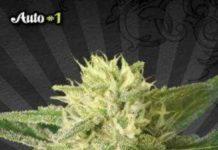 Auto # 1 - Semilla de Marihuana Auto # 1