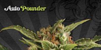 Auto Pounder - Semilla de Marihuana Auto Pounder