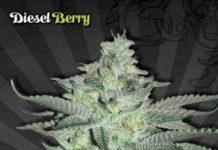 Diesel Berry Auto - Semilla de Marihuana Diesel Berry Auto