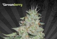 Dreamberry - Semilla de Marihuana Dreamberry