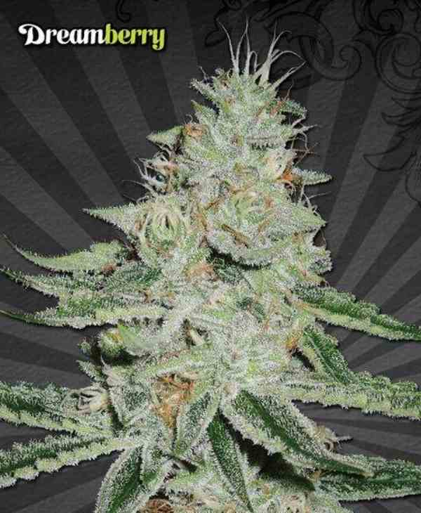 Dreamberry - Semilla de Marihuana Dreamberry