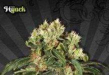 Hijack - Semilla de Marihuana Hijack