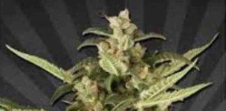 Juicy Lucy - Semilla de Marihuana Juicy Lucy