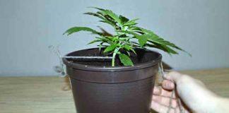 ¿Cómo Funciona el Cultivo de Marihuana con Trenzado de Bajo Estrés?