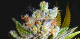 Auto 4:20 - Semilla de Marihuana Auto 4:20