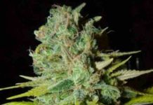 Semilla de Marihuana Big Lights del Banco Biohazard Seeds