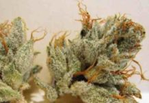 Semilla de Marihuana Napalm del Banco Biohazard Seeds