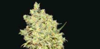 Somanta - Semilla de Marihuana Somanta