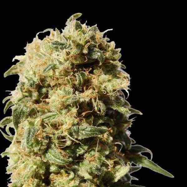 AK Bio - Semilla de Marihuana AK Bio