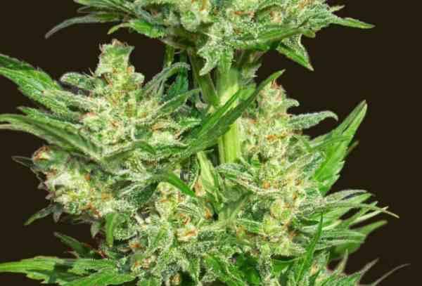Semilla de Marihuana Auto Chingon del Banco Biohazard Seeds