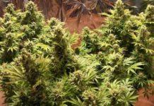 Auto Somachigun - Semilla de Marihuana Auto Somachigun