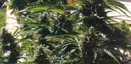 Auto Power - Semilla de Marihuana Auto Power