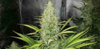 Semilla de Marihuana Auto Reek'n del Banco Devil's Harvest Seeds