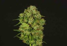 Semilla de Marihuana Casey Jones Regular del Banco Devil's Harvest Seeds