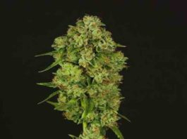 Semilla de Marihuana Casey Jones Regular del Banco Devil's Harvest Seeds