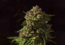 Semilla de Marihuana Fallen Angel del Banco Devil's Harvest Seeds