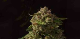 Semilla de Marihuana Fallen Angel Regular del Banco Devil's Harvest Seeds