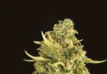 Semilla de Marihuana Hells Bells Regular del Banco Devil's Harvest Seeds