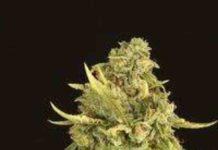 Semilla de Marihuana Hells Bells Regular del Banco Devil's Harvest Seeds