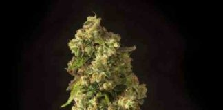 Semilla de Marihuana John Doe Regular del Banco Devil's Harvest Seeds