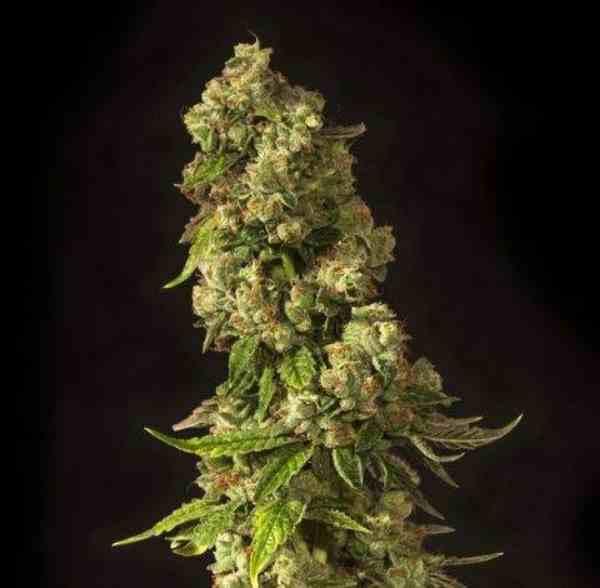 Semilla de Marihuana John Doe Regular del Banco Devil's Harvest Seeds