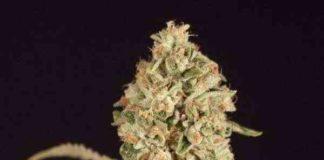 Semilla de Marihuana OG Reek'N del Banco Devil's Harvest Seeds