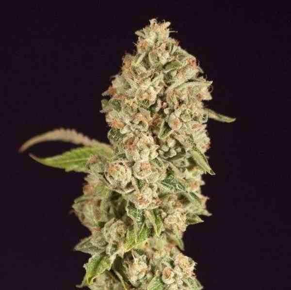 Semilla de Marihuana OG Reek'N Regular del Banco Devil's Harvest Seeds