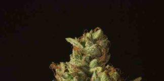 Semilla de Marihuana Rollex OG Kush del Banco Devil's Harvest Seeds