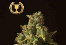 Semilla de Marihuana Rollex OG Kush Regular del Banco Devil's Harvest Seeds