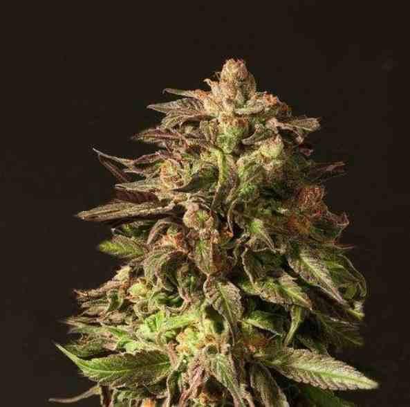 La Semilla de Marihuana Shoreline del Banco Devil's Harvest Seeds