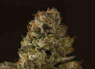 Semilla de Marihuana Strawberry Sour Diesel del Banco Devil's Harvest Seeds