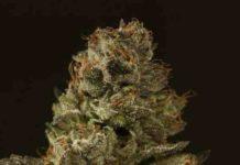 Semilla de Marihuana Strawberry Sour Diesel Regular del Banco Devil's Harvest Seeds