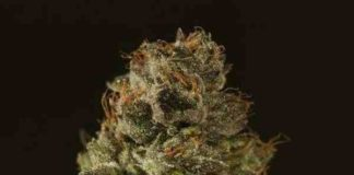 Semilla de Marihuana Strawberry Sour Diesel Regular del Banco Devil's Harvest Seeds