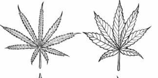 Los Cuatro tipos de Marihuanas que Podemos Encontrar