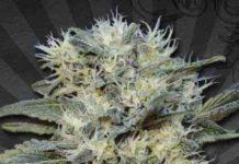 Auto Chemdog - Semilla de Marihuana Auto Chemdog
