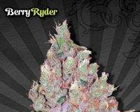 Auto Berry Ryder - Semilla de Marihuana Auto Berry Ryder