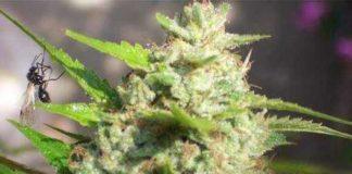 Jawar - Semilla de Marihuana Jawar