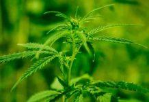 ¿Cómo funciona la fotosíntesis en las plantas de marihuana?