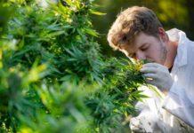Investigación sobre la Marihuana para Poderla Aplicar