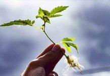 ¿Cómo Cuidar la Raíz en las Macetas de las Plantas de Marihuana?