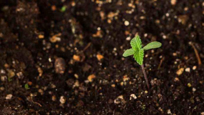 ¿Tenemos que usar Zinc en nuestras Plantas de Marihuana?
