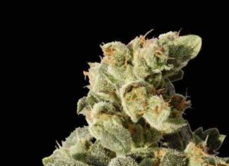 Semilla de Marihuana Auto Northern Light del Banco Biological Seeds