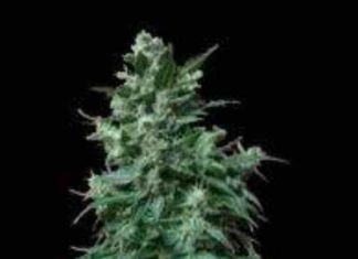 Semilla de Marihuana Auto AK Bio del Banco Biological Seeds