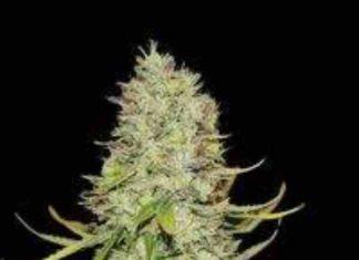 Semilla de Marihuana Auto Amnesia del Banco Biological Seeds