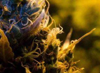 Semilla de Marihuana Auto Bio Lime del Banco Biological Seeds